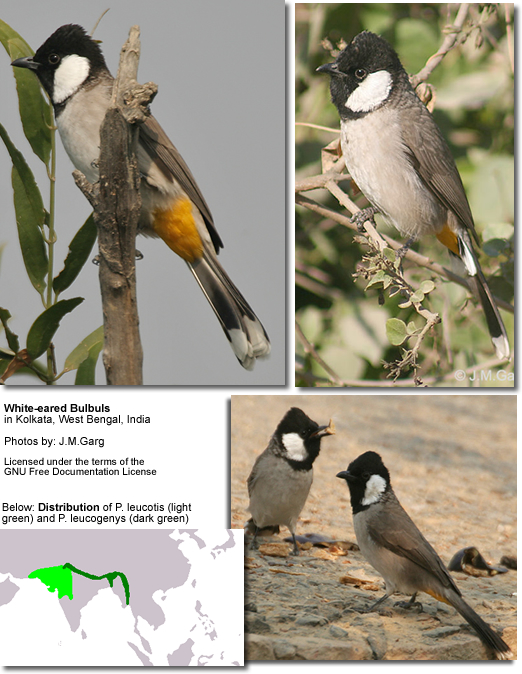 White-eared Bulbuls