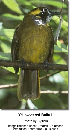 Yellow-eared Bulbuls