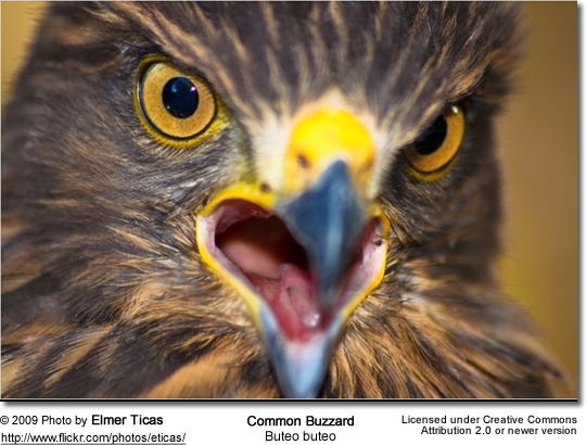 Common Buzzard Head detail