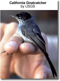 California Gnatcatchers