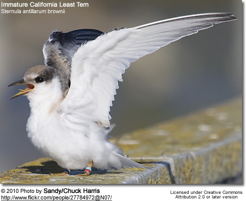Immature California Least Tern