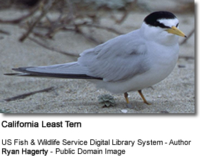 California Least Tern, Sternula antillarum brownii