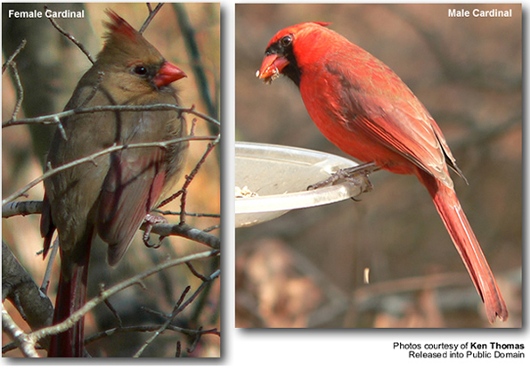 Female and Male Cardinals