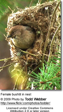 Female bushtit in nest