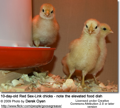Chicks - note the elevated food dish -- only for OLDER chicks!