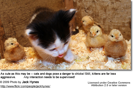Chicks and Kitty!