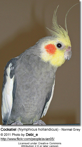 Normal Grey Cockatiel