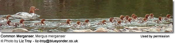 Common Merganser, (Goosander in Europe), Mergus merganser