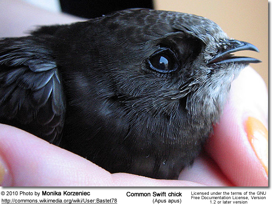 Common Swift chick