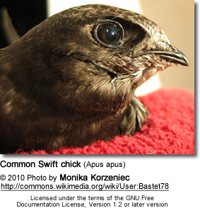 Common Swift chick (Apus apus)