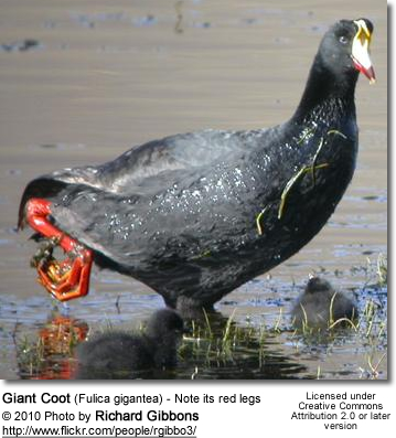 Giant Coot (Fulica gigantea) - Note its red legs