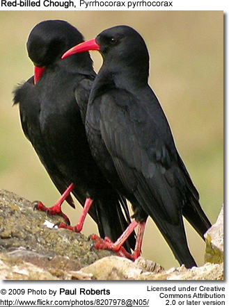 Red-billed Choughs