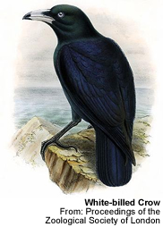 White-billed Crow