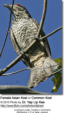 Common or Asian Koel