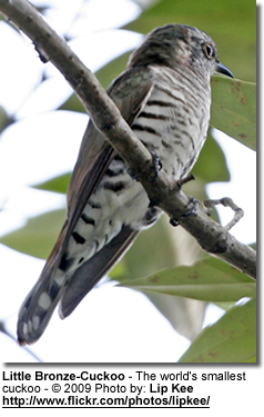 The Little Bronze-cuckoo -- the world's smallest cuckoo!