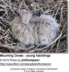 Mourning Doves - young hatchlings