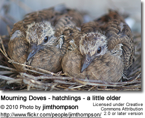 Mourning Doves - hatchlings - a little older