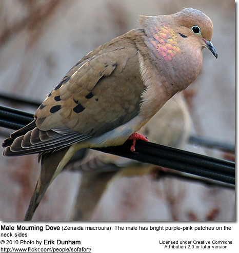 Mourning Dove (Zenaida macroura) - Male