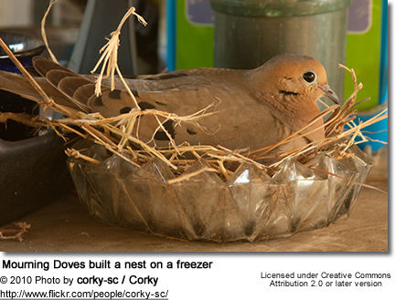 Mourning Doves built a nest on a freezer