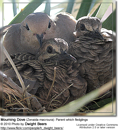 Mourning Dove (Zenaida macroura): Parent which fledglings
