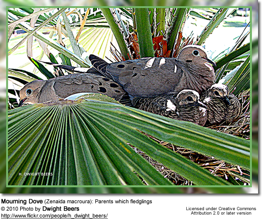 Mourning Dove (Zenaida macroura): Parents which fledglings