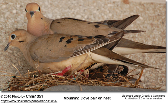 Mourning Doves with young