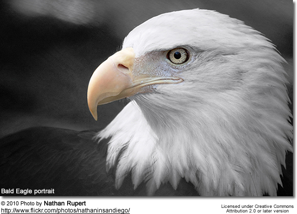 an overview of the bald eagle species of the american bird The bald eagle (haliaeetus it builds the largest nest of any north american bird and the largest tree nests ever recorded for any bald eagles are not actually.