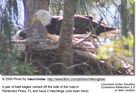 Nesting Bald Eagles with Chicks
