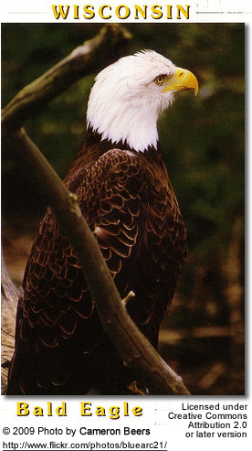 Bald Eagle in Wisconsin