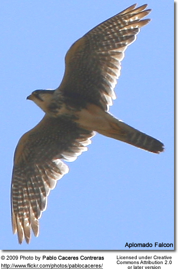 Aplomado Falcon Flying