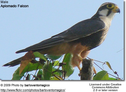 Aplomado Falcon - Male