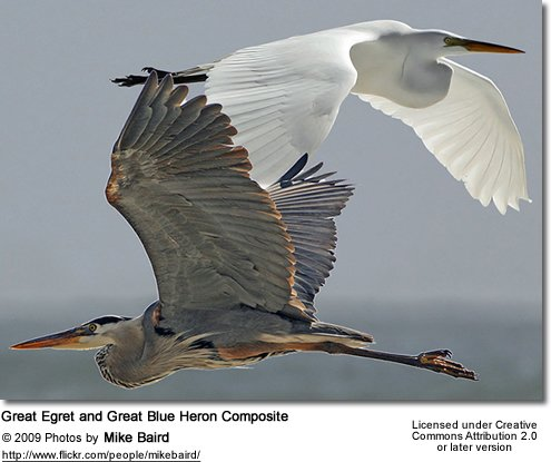 Great Egret and Great Blue Heron Composite