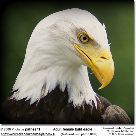 Bald Eagle Female
