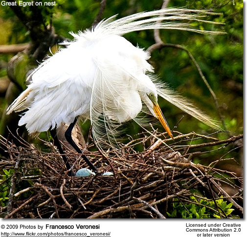 Great Egret on nest (note the eggs)