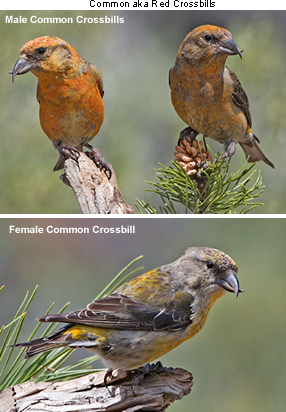 Common / Red Crossbills