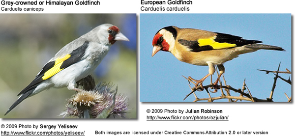 Goldfinch sub-species comparison