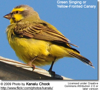 Green-singing Finches