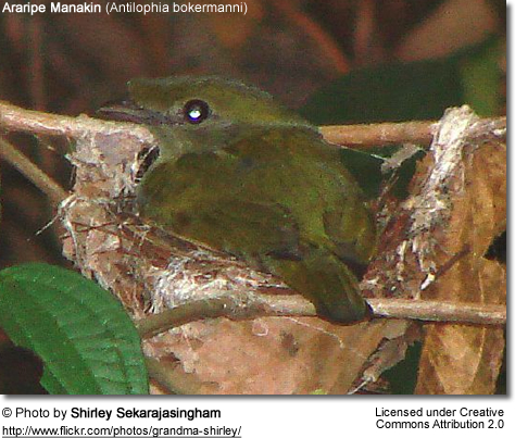 Araripe Manakin on nest
