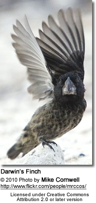 Darwin's finches (also known as the Galápagos Finches or as Geospizinae)