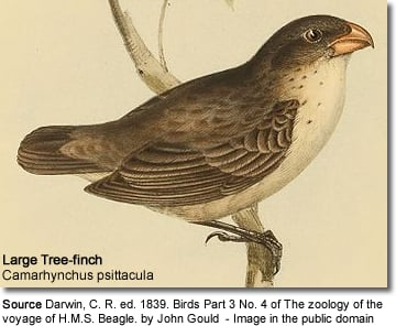 Large Tree-finch (Camarhynchus psittacula)