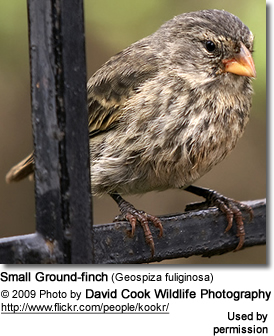Small Ground-Finch (Geospiza fuliginosa)
