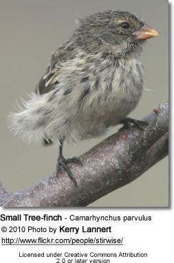 Small Tree-finch - Camarhynchus parvulus