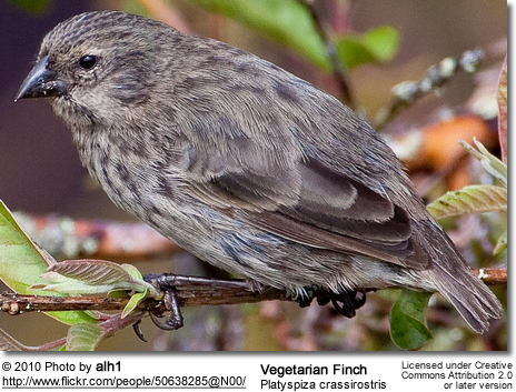 Vegetarian Finch (Platyspiza crassirostris)