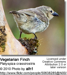 Vegetarian Finch (Platyspiza crassirostris or Camarhynchus crassirostris)
