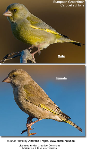 Green Finches - Male top - female below