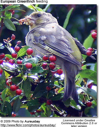 Feeding Green Finch