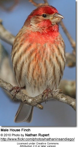 Male Housefinch