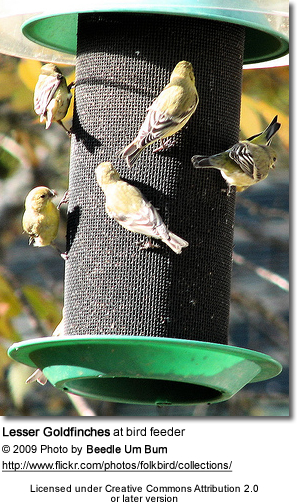 Lesser Goldfinches at feeder