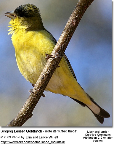 Lesser Goldfinch - singing - note its fluffed throat