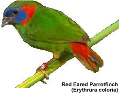 Red-eared Parrotfinch